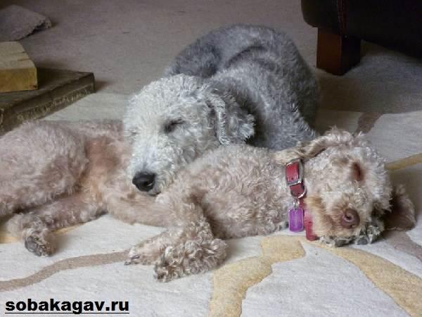 Бедлингтон-терьер-собака-Описание-особенности-уход-и-цена-за-породой-7