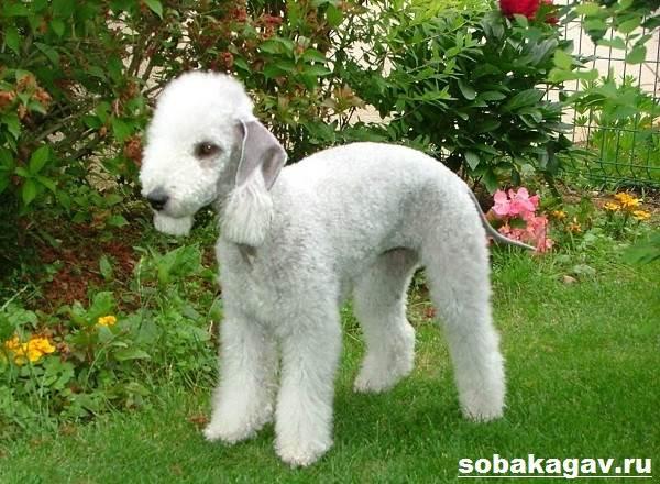 Бедлингтон-терьер-собака-Описание-особенности-уход-и-цена-за-породой-8
