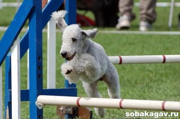 Бедлингтон-терьер-собака-Описание-особенности-уход-и-цена-за-породой-9
