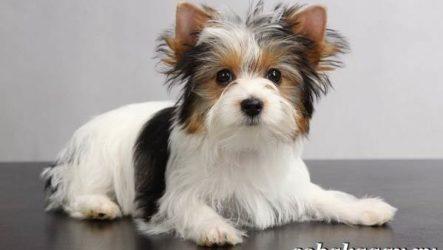 Бивер йорк собака. Описание, особенности, уход и цена бивер йорка
