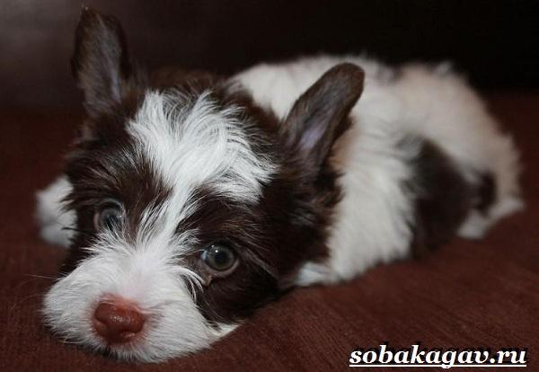 Бивер-йорк-собака-Описание-особенности-уход-и-цена-бивер-йорка-10