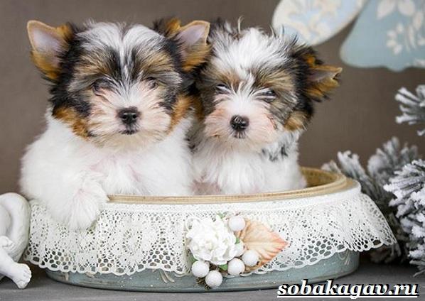 Бивер-йорк-собака-Описание-особенности-уход-и-цена-бивер-йорка-11