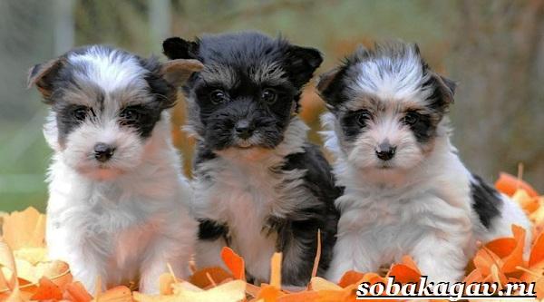 Бивер-йорк-собака-Описание-особенности-уход-и-цена-бивер-йорка-12