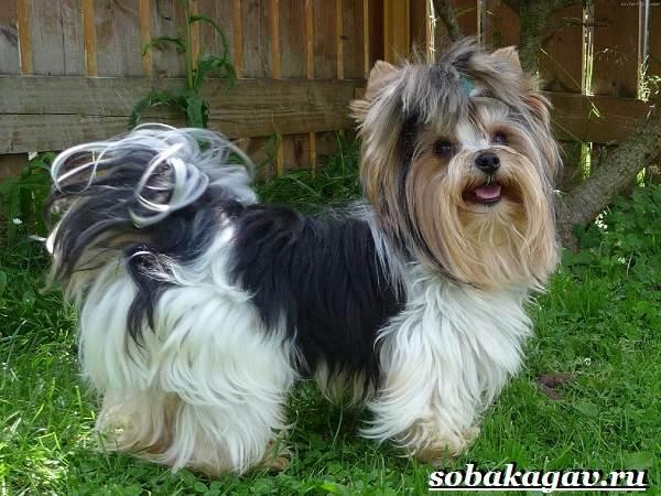 Бивер-йорк-собака-Описание-особенности-уход-и-цена-бивер-йорка-2