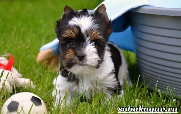 Бивер-йорк-собака-Описание-особенности-уход-и-цена-бивер-йорка-3