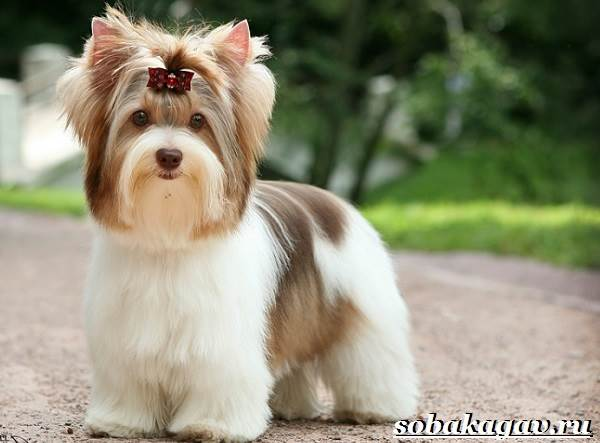 Бивер-йорк-собака-Описание-особенности-уход-и-цена-бивер-йорка-4