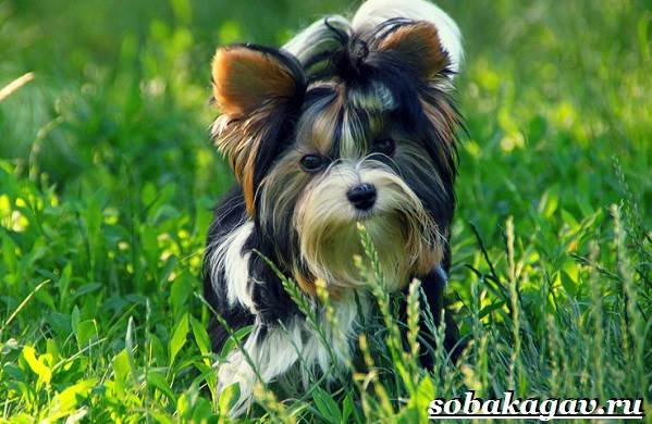 Бивер-йорк-собака-Описание-особенности-уход-и-цена-бивер-йорка-6