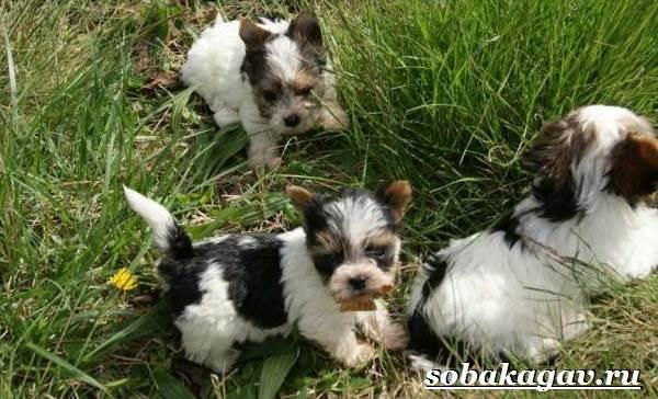 Бивер-йорк-собака-Описание-особенности-уход-и-цена-бивер-йорка-7