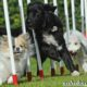 Что такое аджилити? Правила, снаряды и породы собак для аджилити