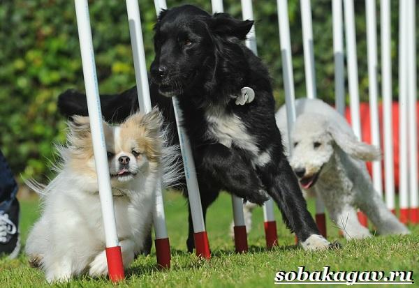 Что-такое-аджилити-Правила-снаряды-и-породы-собак-для-аджилити-1