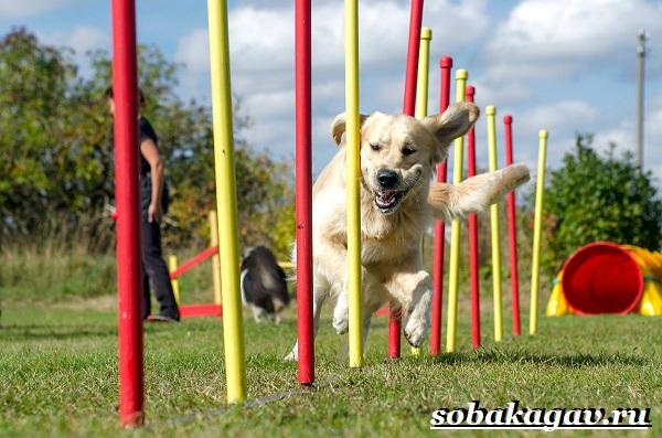 Что-такое-аджилити-Правила-снаряды-и-породы-собак-для-аджилити-10