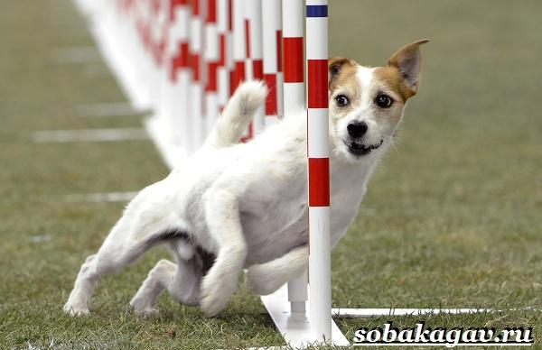 Что-такое-аджилити-Правила-снаряды-и-породы-собак-для-аджилити-15