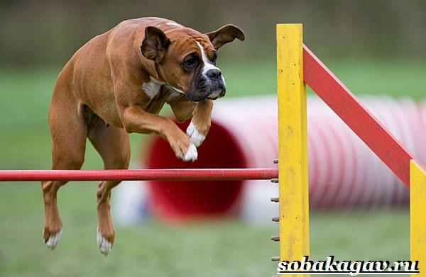 Что-такое-аджилити-Правила-снаряды-и-породы-собак-для-аджилити-16