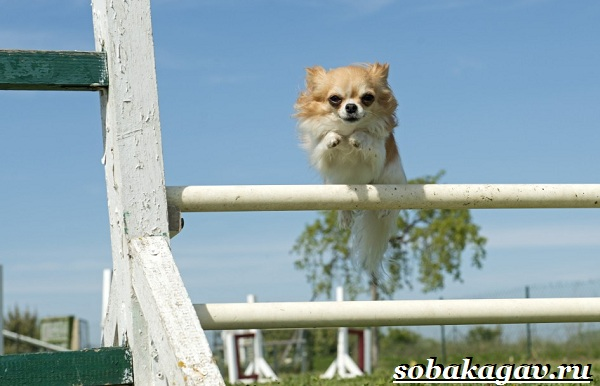 Что-такое-аджилити-Правила-снаряды-и-породы-собак-для-аджилити-17
