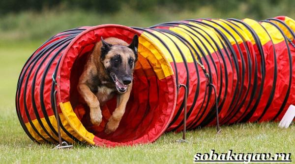 Что-такое-аджилити-Правила-снаряды-и-породы-собак-для-аджилити-18