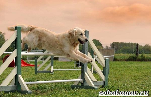 Что-такое-аджилити-Правила-снаряды-и-породы-собак-для-аджилити-2
