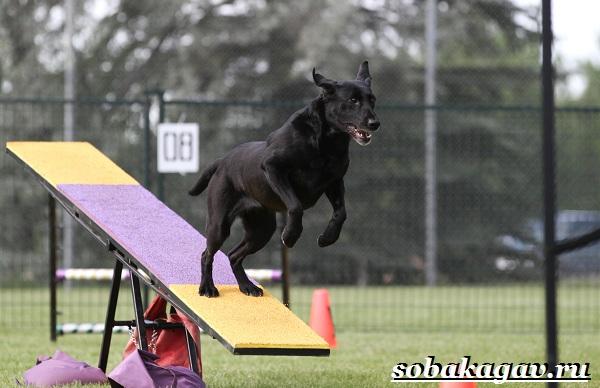 Что-такое-аджилити-Правила-снаряды-и-породы-собак-для-аджилити-5