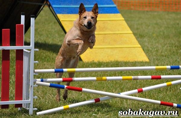 Что-такое-аджилити-Правила-снаряды-и-породы-собак-для-аджилити-8