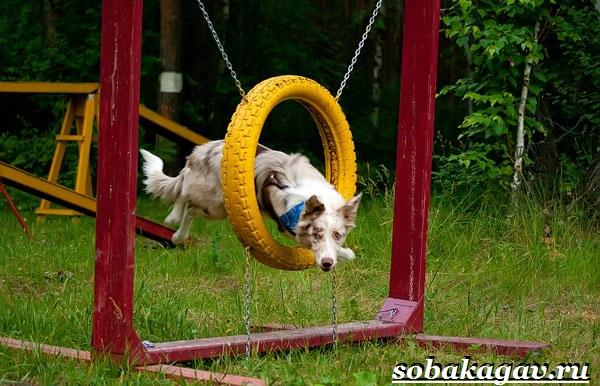 Что-такое-аджилити-Правила-снаряды-и-породы-собак-для-аджилити-9