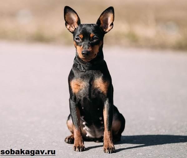 Цвергпинчер-собака-Описание-особенности-уход-и-цена-цвергпинчера-1