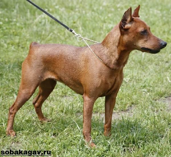 Цвергпинчер-собака-Описание-особенности-уход-и-цена-цвергпинчера-9