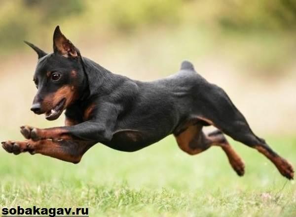 Цвергпинчер-собака-Описание-особенности-уход-и-цена-цвергпинчера-2