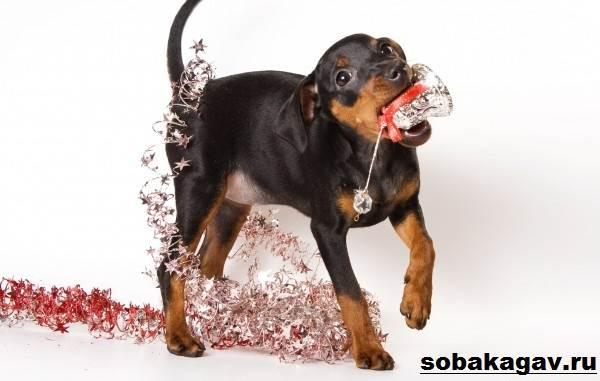 Цвергпинчер-собака-Описание-особенности-уход-и-цена-цвергпинчера-3
