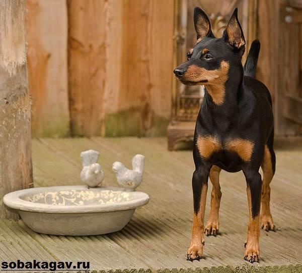 Цвергпинчер-собака-Описание-особенности-уход-и-цена-цвергпинчера-4