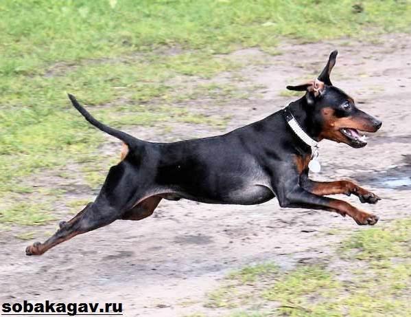 Цвергпинчер-собака-Описание-особенности-уход-и-цена-цвергпинчера-6