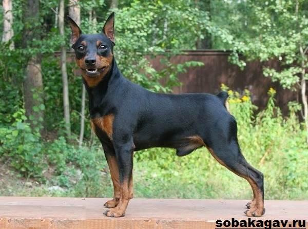 Цвергпинчер-собака-Описание-особенности-уход-и-цена-цвергпинчера-8