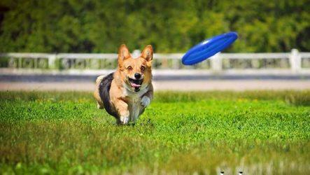 Фрисби для собак. Что это такое, виды и цена тарелки фрисби
