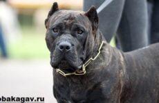 Канарский дог собака. Описание, особенности, уход и цена канарского дога