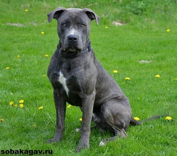 Канарский-дог-собака-Описание-особенности-уход-и-цена-канарского-дога-13