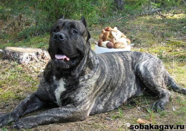 Канарский-дог-собака-Описание-особенности-уход-и-цена-канарского-дога-2