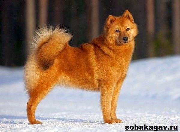 Карело-финская-лайка-собака-Описание-особенности-уход-и-цена-породы-1