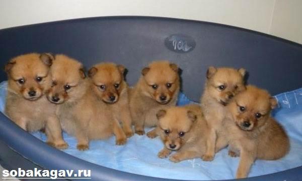 Карело-финская-лайка-собака-Описание-особенности-уход-и-цена-породы-10