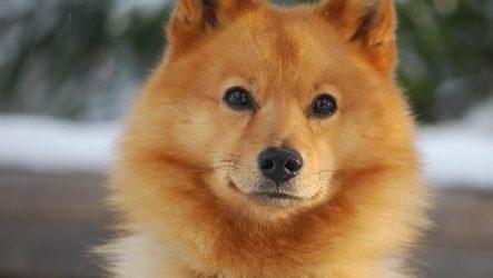 Карело-финская лайка собака. Описание, особенности, уход и цена породы