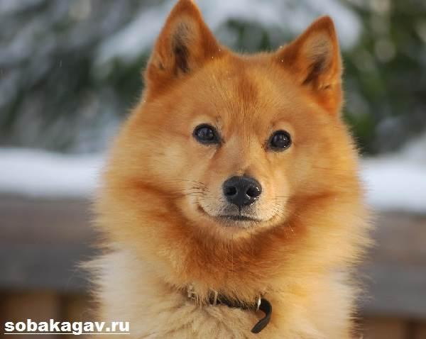 Карело-финская-лайка-собака-Описание-особенности-уход-и-цена-породы-11
