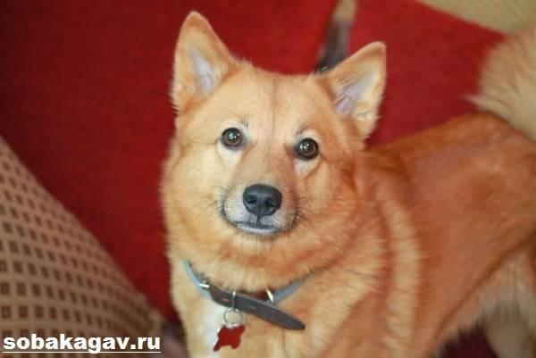 Карело-финская-лайка-собака-Описание-особенности-уход-и-цена-породы-12