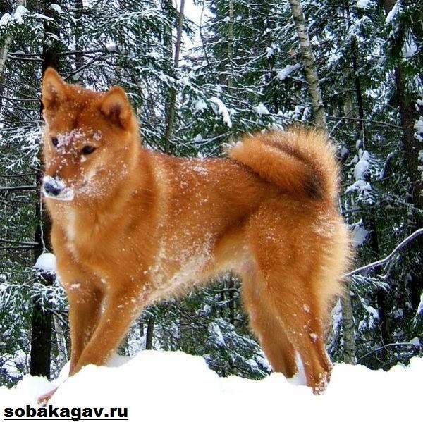 Карело-финская-лайка-собака-Описание-особенности-уход-и-цена-породы-2