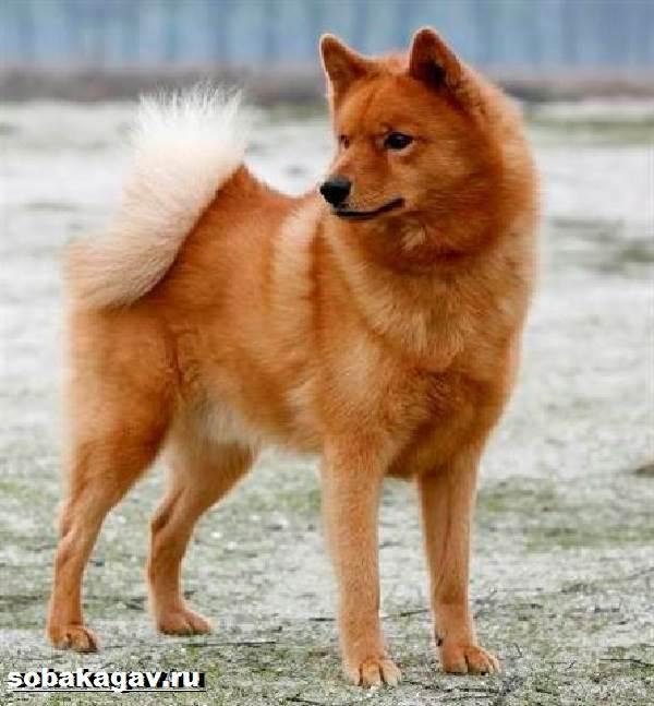 Карело-финская-лайка-собака-Описание-особенности-уход-и-цена-породы-5