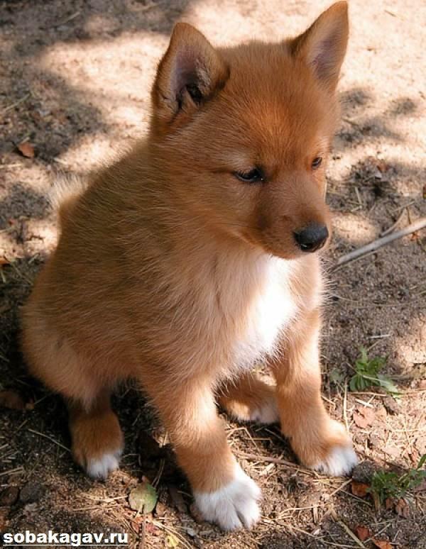 Карело-финская-лайка-собака-Описание-особенности-уход-и-цена-породы-6