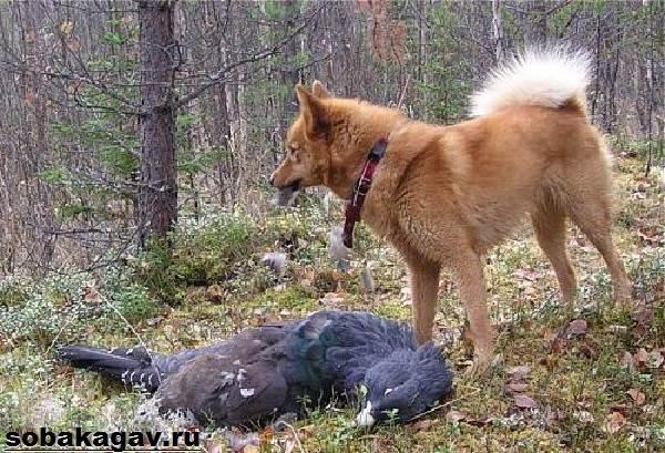 Карело-финская-лайка-собака-Описание-особенности-уход-и-цена-породы-7