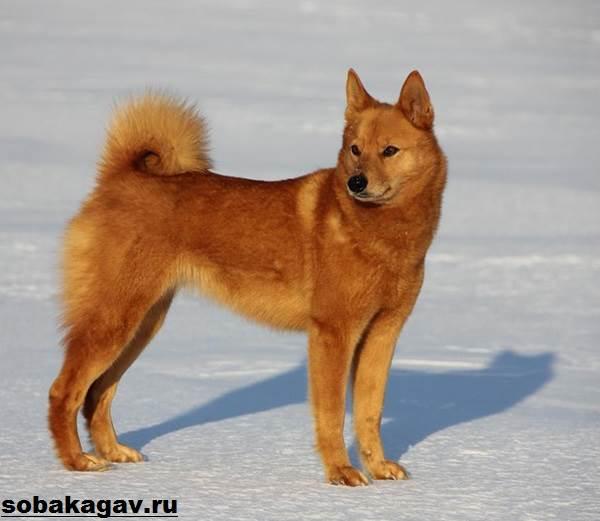 Карело-финская-лайка-собака-Описание-особенности-уход-и-цена-породы-9