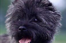 Керн терьер собака. Описание, особенности, уход и цена керн терьера