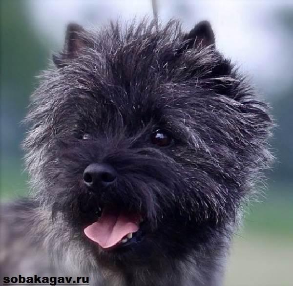 Керн-терьер-собака-Описание-особенности-уход-и-цена-керн-терьера-10