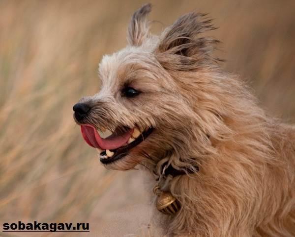 Керн-терьер-собака-Описание-особенности-уход-и-цена-керн-терьера-2