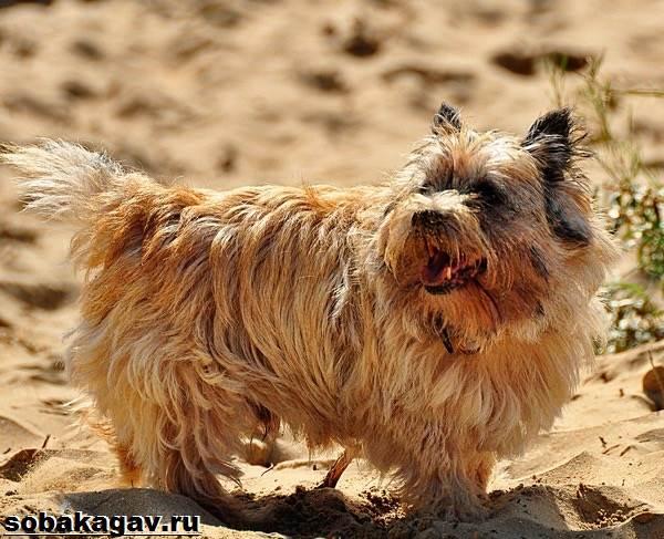 Керн-терьер-собака-Описание-особенности-уход-и-цена-керн-терьера-4