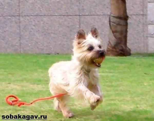 Керн-терьер-собака-Описание-особенности-уход-и-цена-керн-терьера-5