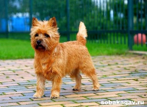 Керн-терьер-собака-Описание-особенности-уход-и-цена-керн-терьера-6